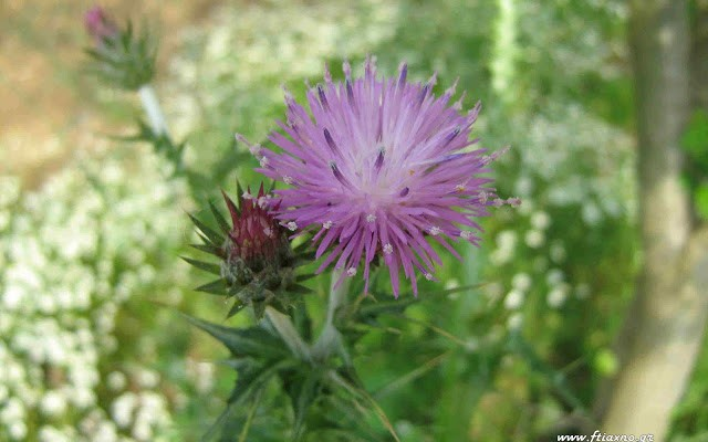 Silybummarianumflowerag1