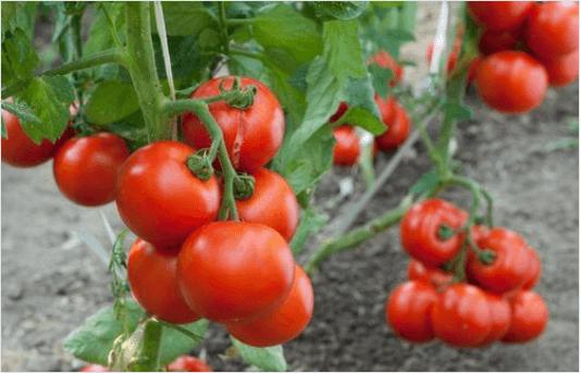 Πρέβεζα: Παραμένουν οι χαμηλές τιμές για τους ντοματοπαραγωγούς της Πρέβεζας-